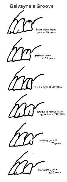 teeth age chart - Aging horses' teeth by Galvayne's groove. Horse Age, My Horse, Horses And Dogs, Show Horses, Pretty Horses, Beautiful Horses, Horse Information, Horse Anatomy, Horse Care Tips