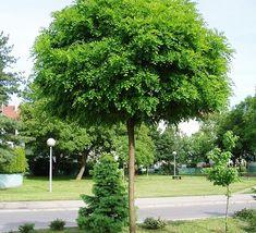 Rain Garden, Garden Trees, Acacia, Garden Express, Tree Canopy, Hardy Plants, Terrace, Sidewalk