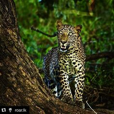 Repost of awesome shot by @roar.lk with #stockphotolk  Last month Steve Winter a @natgeo Wildlife photojournalist filmmaker and speaker visited Sri Lanka to shoot a story on Leopards  Check out our latest post on www.roar.lk to find out what Steve got up to during his visit!  Photo credit: Steve Winter. For more cool photos follow  @stevewinterphoto .. කටය #leopard #panthera #bigcat #srilanka #wildlife #wilpattu #photooftheday #nature #natureconnection #nationalpark #lka #instapic #instagood…