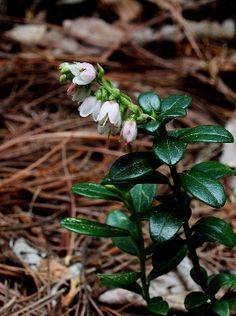 Linton berry Vaccinium vitis-idaea Images - Michigan Flora