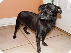 Thomasville, NC - Pug/Chihuahua Mix. Meet Reagan, a dog for adoption. http://www.adoptapet.com/pet/11850172-thomasville-north-carolina-pug-mix
