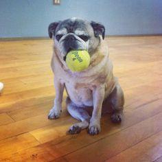 Sallie and tennis ball #pug
