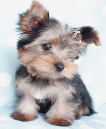 Teacup Puppies For Sale at TeaCups, Puppies and Boutique #teacupdogslist #teacupdogs #teacupbreeds #popularTeacups