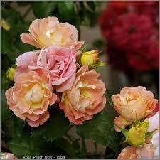 Znalezione obrazy dla zapytania róża drift