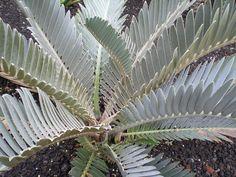 Encephalartos Hirsutus | von GREGORIUZ