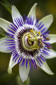 Passion Flower by tallpomlin, via Flickr Full sun. Climbs to 10 feet. Zones 6 - 9. It's one of the best for butterflies as a variety of them drink its nectar.