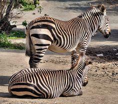 Hartmann´s Mountain Zebra (Equus zebra hartmannae) | Flickr - Photo Sharing!