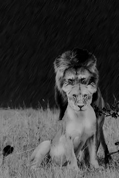 "Lion & Lioness: ""There's nothing to fear in front of you ~ when you know who's covering your back."""