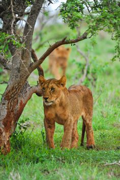 Lions Cubs on the move, Taita Hills