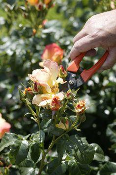 Struikrozen en rozen op stam kun je op twee manieren snoeien. Wood Watch, Gardening Tips, Roses, Bedrooms, Living Room, Interior, Wooden Clock, Wooden Watch, Pink