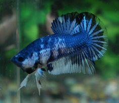 beta fish | Betta Fish Afira: Betta HMPK Line Thai Fancy