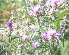 Humblebee on Greater Knapweed ~ Stock Footage Audio Track, Stock Video, Stock Footage, Shots