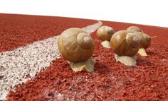 Snail race - Snails on a real red running race track with white dividing line, leaving a visible trail of slime