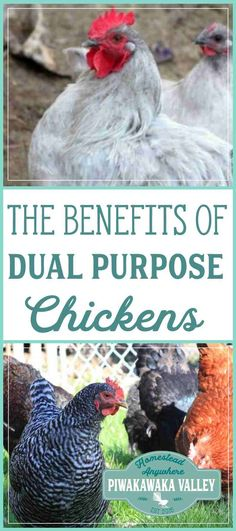 Dual purpose breeds are all the rage in self sufficiency, homesteading and prepping groups. Here are the real benefits to owning dual purpose hens. #chickens #homesteading #selfsufficiency