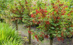 Johannisbeeren (Ribes) sind sehr robuste und einfach zu kultivierende Beerensträucher. Sie werden auch gerne als Hochstamm-Veredlungen gezogen
