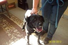 Miss Kitty is an adoptable Labrador Retriever Dog in Lewisburg, TN. Miss Kitty came to us on 04/29/13 she is on owner hold until 05/04/13. She is available for adoption on 5/4/13 and for rescue on 5/...