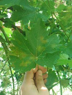 Plasmophora viticola