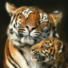 Wild cats are so strong, yet  they are gentle to their young.