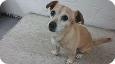 Baltimore, MD - Chihuahua/Rat Terrier Mix. Meet Finlay (COURTESY POST), a dog for adoption. http://www.adoptapet.com/pet/18732187-baltimore-maryland-chihuahua-mix