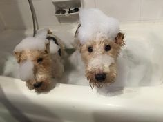 https://www.facebook.com/photo.php?fbid=10153290242954296. Kai Keith's two very beautiful and (temporarily ) clean Fox Terriers .