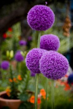Alliums - Eden....this reminds me of Dr.Seuss