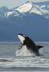 Male Orca breaching in Southeast Alaska.