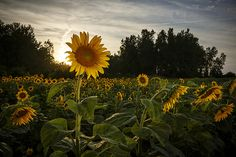 Sunflowers at sunset in rural Boone County Missouri by Notley Hawkins Photography. Taken with a Canon EOS 5D Mark III camera with a Canon EF16-35mm f/4L IS USM lens at ƒ/18.0 with a 1/50 second exposure at ISO 200 along with a Quantum Qflash Trio with a yellow gel. Processed with Adobe Lightroom 6.4.  http://www.notleyhawkins.com/