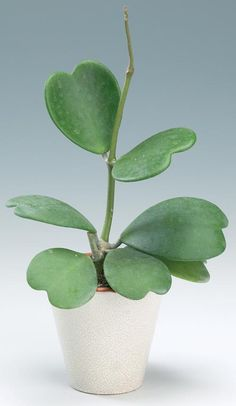 Succulent -Sweetheart Hoya Plant. It has heart shaped leaves and pretty clumped flowers.