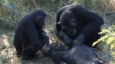 A chimpanzee was filmed using tools to apparently clean the corpse of her adopted son, the first hint that animals other than humans have mortuary practises.