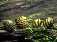 Liven up your aquarium with Nerite Snails of two different varieties Zebra Nerites + 5 Tiger Nerites)! These beautiful snails are great for giving your aquarium some exotic flair, but they Aquarium Snails, Aquarium Algae, Aquarium Set, Planted Aquarium, Aquatic Arts, Fertilizer For Plants, Snail Shell, Freshwater Aquarium, Betta Fish