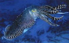 Cephalopod: Study in Blue Cuttlefish  Sepia latimanus