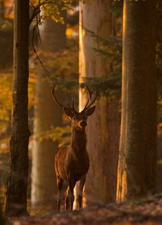 SEASONAL – AUTUMN – a scenic pathway and buck surrounded by the brilliant colors of fall.