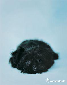 Ziggy (Affenpinscher) - If Ziggys hair wasnt so shiny, hed make a great black mat.