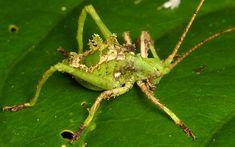 Leaf mimicking katydid nymph