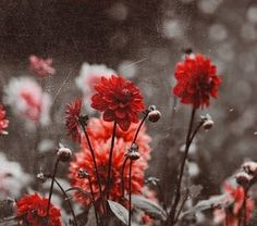 #red #aesthetic #soft #feed #flower Rainbow Aesthetic, Aesthetic Colors, Flower Aesthetic, White Aesthetic, Aesthetic Grunge, Aesthetic Vintage, Aesthetic Photo, Vintage Flowers, Red Flowers