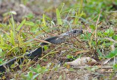 Gebänderte (asiatische) Rattenschlange / Common Rat Snake / Ptyas mucosa.