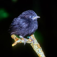 Black Robin chick  (Chatham Island Robin is an endangered bird from the Chatham Islands off the east coast of New Zealand.)