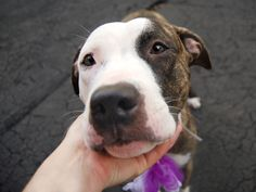 ●7•13•16 STILL THERE●Manhattan center SUSU – A1079424 FEMALE, BR BRINDLE / WHITE, PIT BULL MIX, 2 yrs STRAY – ONHOLDHERE, HOLD FOR ID Reason ABANDON Intake condition UNSPECIFIE Intake Date 06/30/2016, From NY 10463, DueOut Date 07/03/2016, I came in with Group/Litter #K16-063600