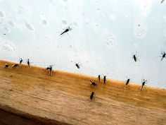 There are many times that you may enjoy opening your house windows so that you can enjoy the fresh air while inside your house. This may not be possible if there are gnats outside your house since they will enter your house through opened windows. It is