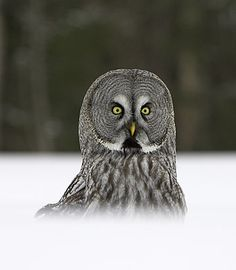 Great Grey Owl Pictures, great pictures of great grey owls in the wild Owl Pictures, Great Pictures, Owl Who, Owl Pumpkin, Great Grey Owl, Owl Eyes, Gray Owl, Cute Owl, Baby Art