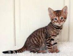 toyger kitten   $1,500