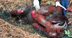 """Say """"NO"""" to palm oil [ARTICLE] Orangutans - Endangered species - Animal Cruelty - Deforestation - Human/Coorporate Greed Primates, Racing Extinction, Nutella, Save The Orangutans, Stop Animal Cruelty, Palm Oil, Palm Trees, Red Palm, Respect"""