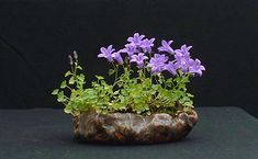 Campanula lactiflora 'Star of Bethleham'. Bonsai Accent Gallery