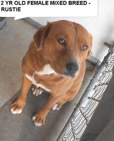 ~~EU 01/04/16~ Rustie is a pretty 2 yr old mix breed girl who is very friendly and responds to anyone coming to her pen The shelter is FULL, Please don't leave him there. . Call Silvia and Debbie now,,,,,Silvia is 910-876-0539 and Debbie is 339-832-0806. If Silvia's mailbox is full you can Text her. Transportation is generally available up and down the East Coast from NC, VA, MD, NJ, PA, NY and the North East