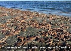 MASS ANIMAL DEATHS THROUGHOUT THE WORLD - Dead Starfish in S.Carolina