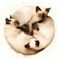 Siamese if you please
