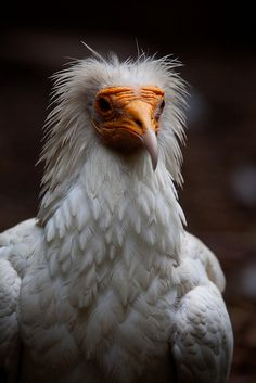 """Beautiful I dont know, but certainly interesting."" Egyptian Vulture by GaelFaulds, via Flickr"
