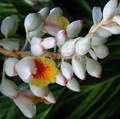Alpinia zerumbet Variegata - Gember - Palma Verde Exoten V.O.F.
