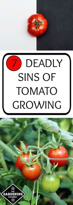 Growing Tomatoes 7 deadly sins of tomato growing. Be sure not to make these mistakes when you grow tomatoes in your vegetable garden and your plants will be healthier and more fruitful. Growing Tomatoes Indoors, Tips For Growing Tomatoes, Growing Tomato Plants, Growing Tomatoes In Containers, How To Grow Tomatoes, Growing Cherry Tomatoes, When To Pick Tomatoes, Organic Gardening, Gardening Tips