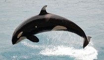 Recently Spotted 103-Year-Old Orca Is Bad News For SeaWorld -- Here's Why #whales #orca #seaworld